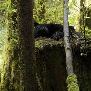 ブラックベアー(和名アメリカクロクマ)画像