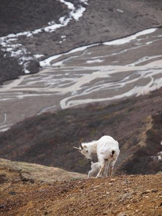 Dall Sheep Mother