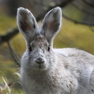 カンジキウサギ画像