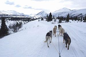 YukonQuest犬ぞり国際大会&オーロラ鑑賞ツアー画像